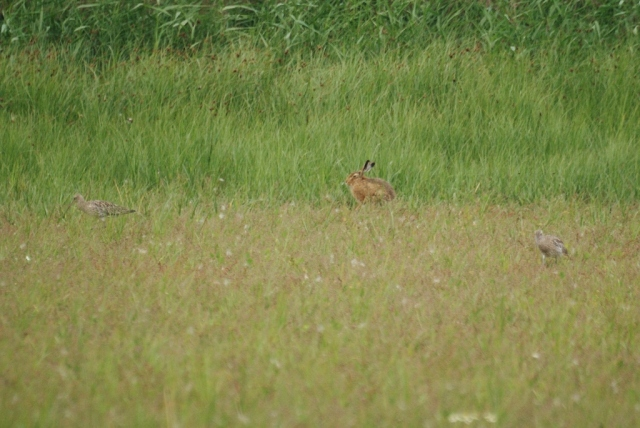 Hare, dismissive of the Curlew