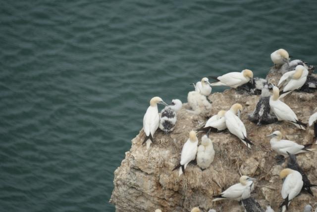 One rock, several stages of gannet moult