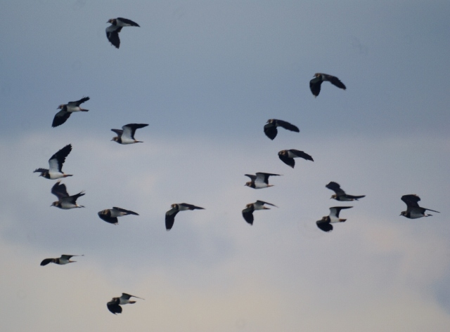 Lapwings take to the air