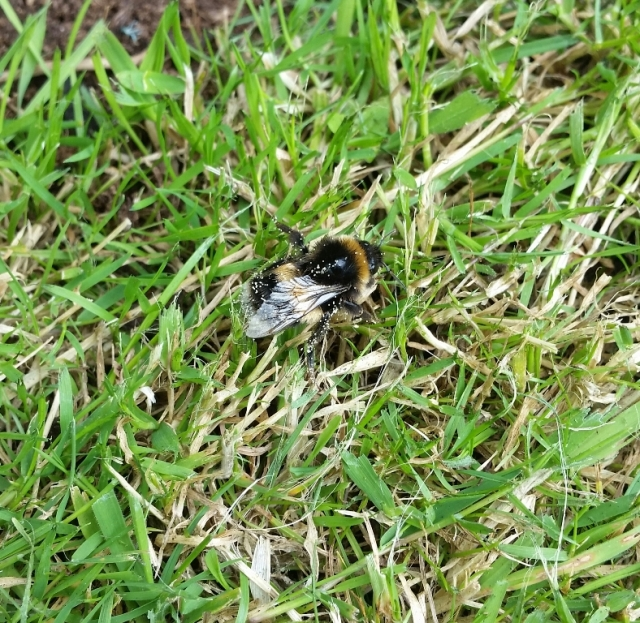 After all that work, you need a rest. This bee flew off fine later.
