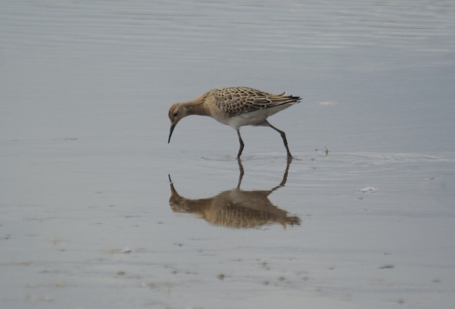 Juvenile Ruff, admiring his own reflection