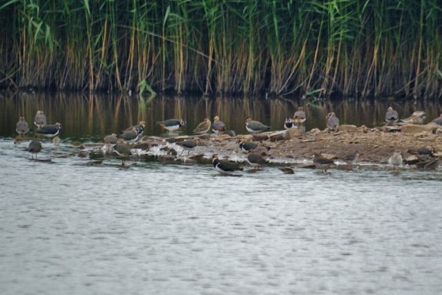 Waders at Blacktoft