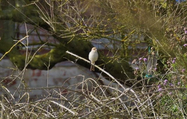 Red-backed Shrike. Not a Sparrow.