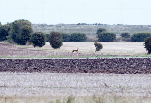 Roe Deer Spurn, Sept 2015
