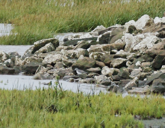 Greenshank hiding amongst the rocks Spurn, Sept 2015