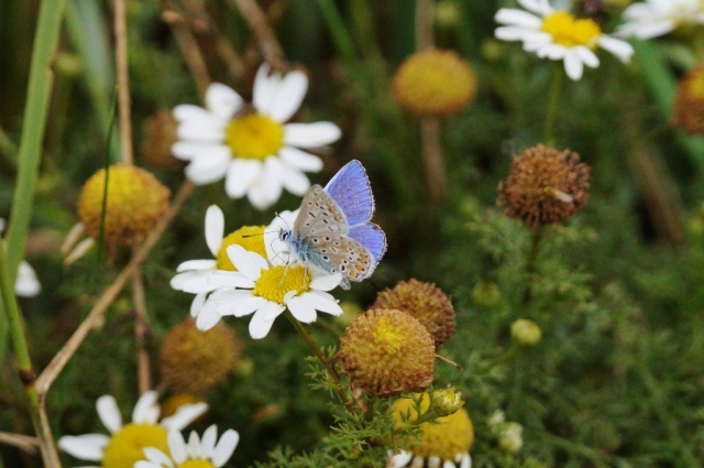 Common Blue Spurn, Sept 2015