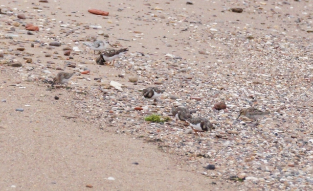 Sanderling, Turnstone and Dunlin Spurn, Sept 2015
