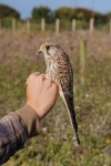 Kestrel, post-ringing Spurn, Sept 2015