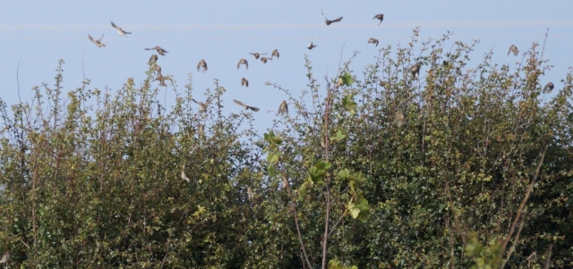 Tree Sparrows returning after a released kestrel causes panic!