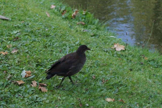 Juvenile Moorhen Heslington Lake, Sept 2015