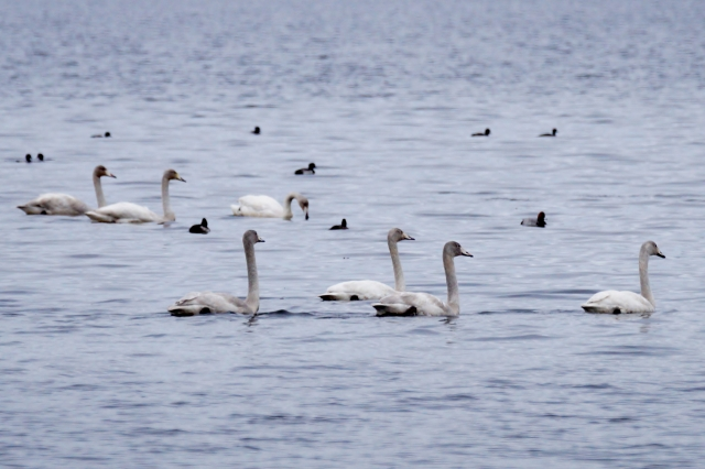 More young Whoopers on Loch Leven