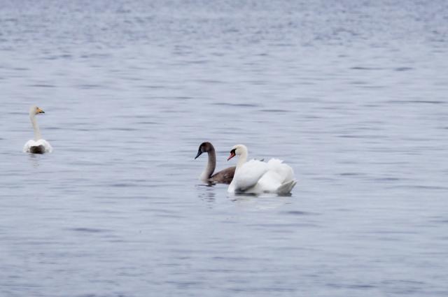 Mute Swans Loch Leven, Oct 2015