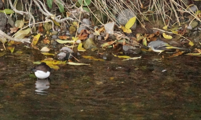 Dipper and Grey wagtail