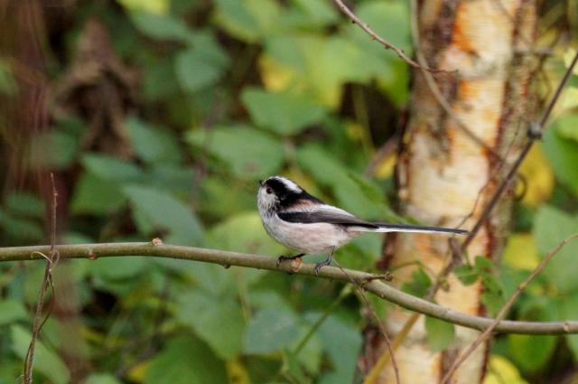 Long-tailed Tit Fairburn Ings, November 2015