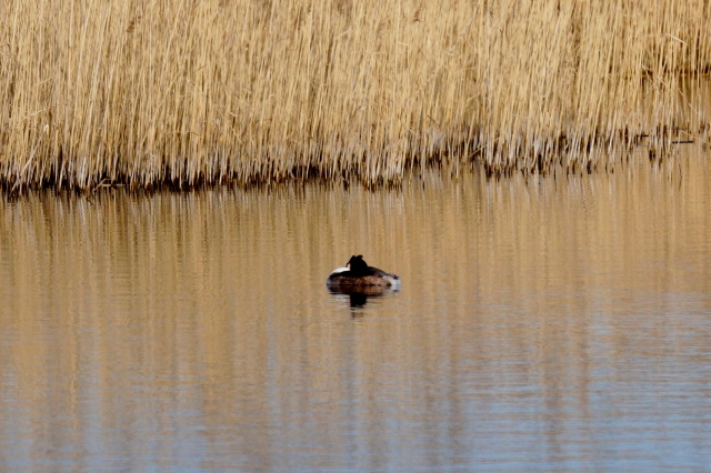 A sleeping Great-crested Grebe Old Moor, Feb 2016