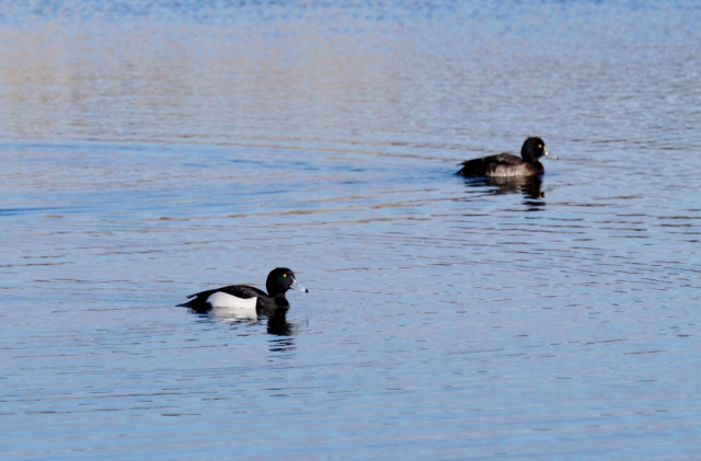 A pair of Tufted Duck Old Moor, Feb 2016