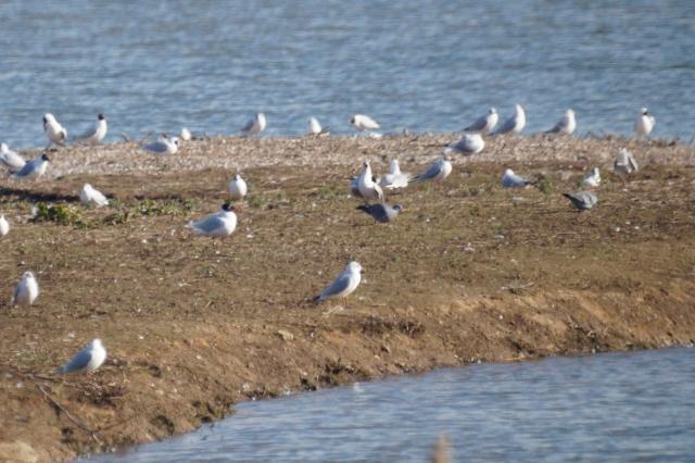 Stock Doves amongst the gulls Old Moor, Feb 2016