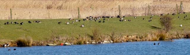 Distant Wigeon Old Moor, February 2016