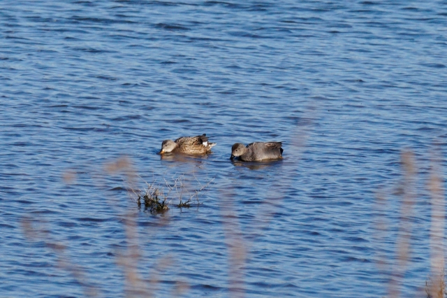 Gadwall Old Moor, Feb 2016