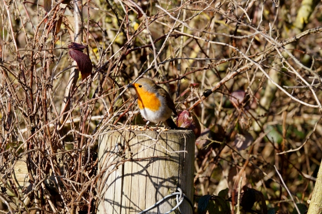 Robin on the prowl Old Moor, Feb 2016