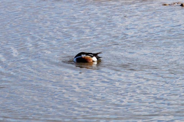 Shoveler, dabbling Old Moor, Feb 2016