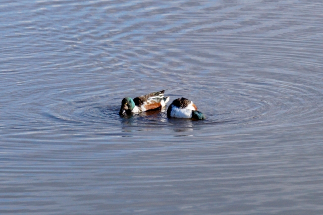 Two male Shoveler Old Moor, Feb 2016