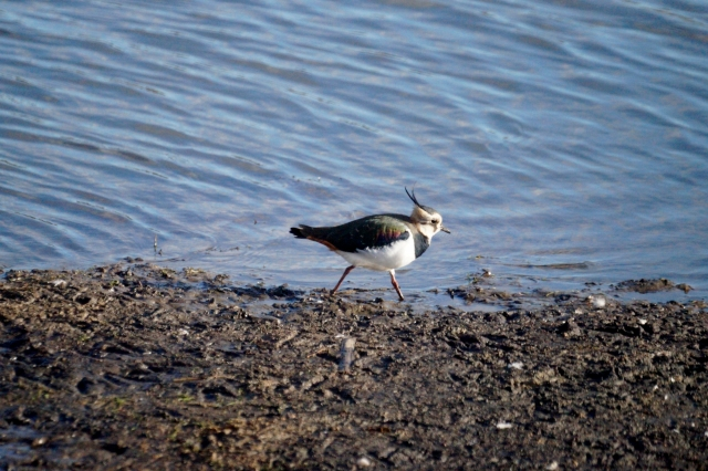 Lapwing Old Moor, Feb 2016