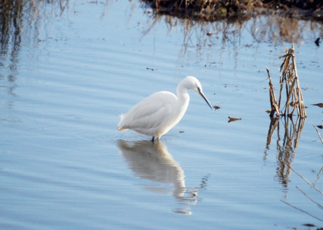 Little Egret on the prowl Old Moor, Feb 2016