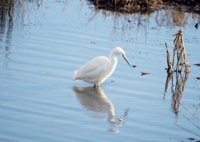 Little Egret on the prowl Old Moor, Feb 2016