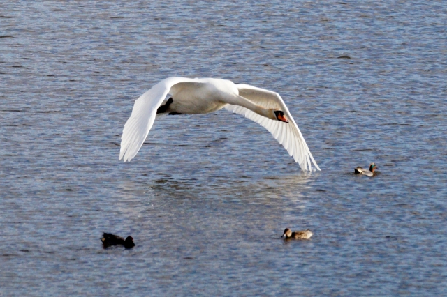 Mute Swan on the move, Teal not so much Old Moor, Feb 2016