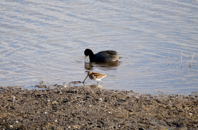 Snipe with Coot for scale
