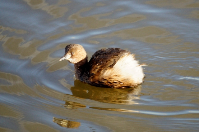 Little Grebe Old Moor, Feb 2016