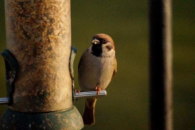Tree Sparrow Old Moor, Feb 2016
