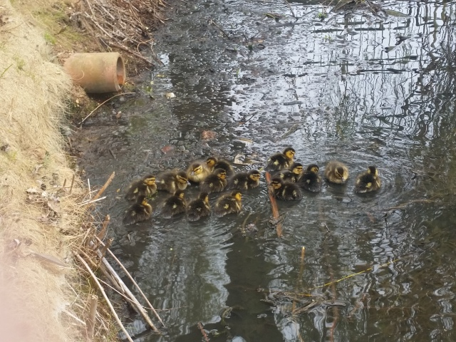 How many ducklings can you spot?