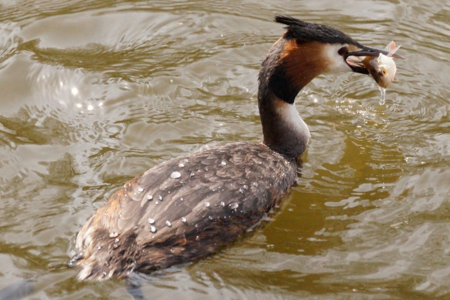 Water off a grebes back