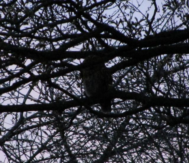 Tawny Owl, Lazonby, April 2016