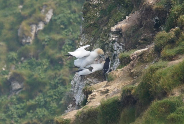 You've got to love how studiously the razorbill is avoiding looking at the mating gannets...