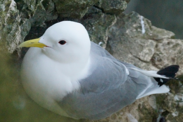 Kittiwake giving the photographer the eye