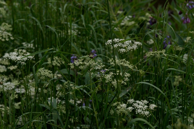 Cow Parsley and Russian Comfrey