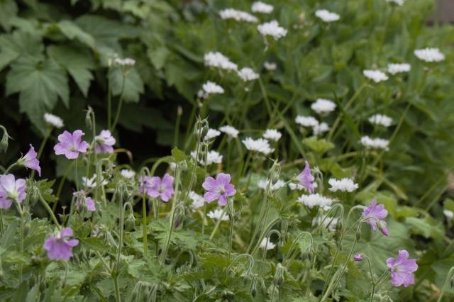 Wild Geranium backed by Allium and Sedum
