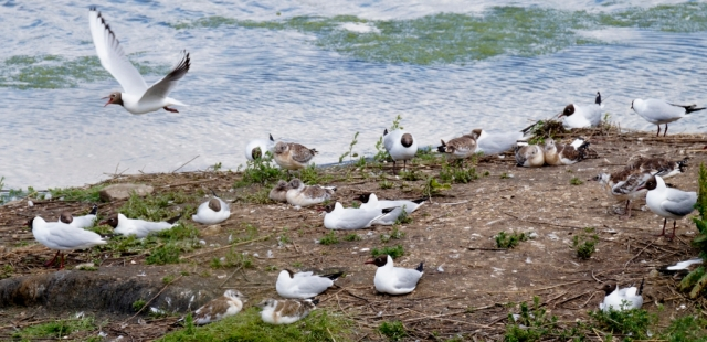 Black-headed gulls with chicks of various ages