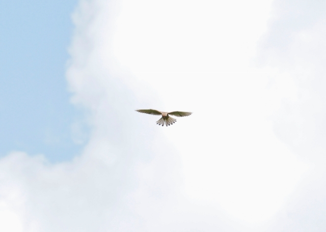 Kestrel hovering, fear this all small mammals