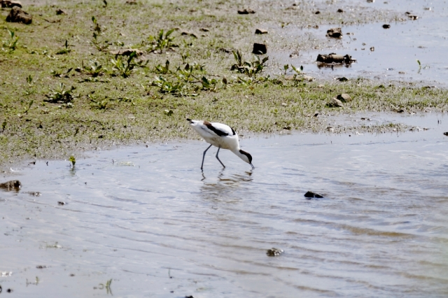 Avocet probing for food