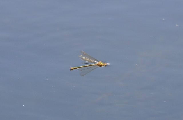 Emerald Damselfly. It actually paddled itself out of the water to safety.
