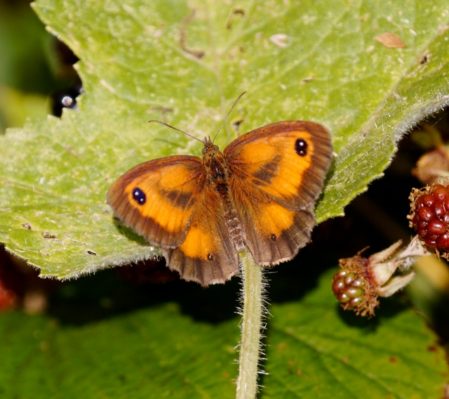 Gatekeeper Identified by the double white spots on the wing