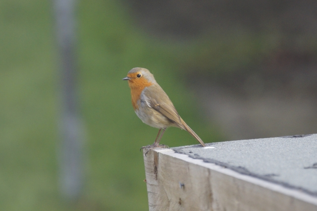 Robin that has recently started to grace us with its presence