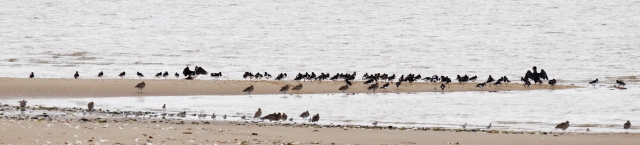 Oystercatchers and more besides