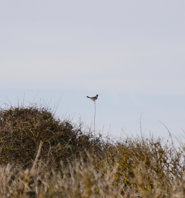 A distant Fieldfare
