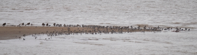 Curlew, Dunlin, Grey Plover and more
