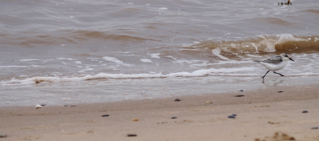 Sanderling, exit stage right...